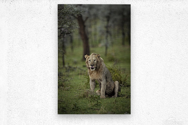 A Lions Tongue  Metal print