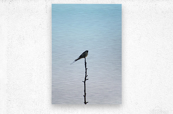 European Swallow  Metal print