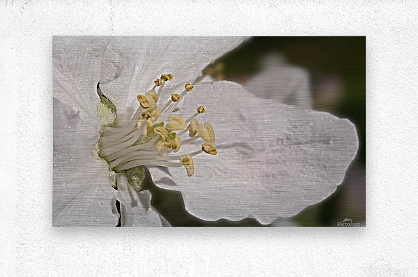 Fruit Blossom in close-up  Metal print