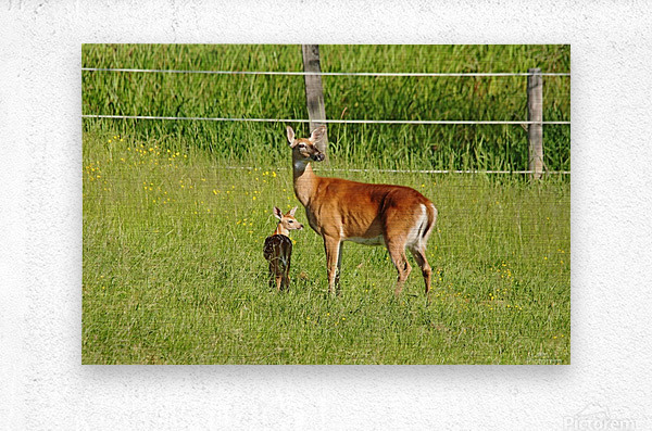 Whitetail Doe And Fawn  Metal print