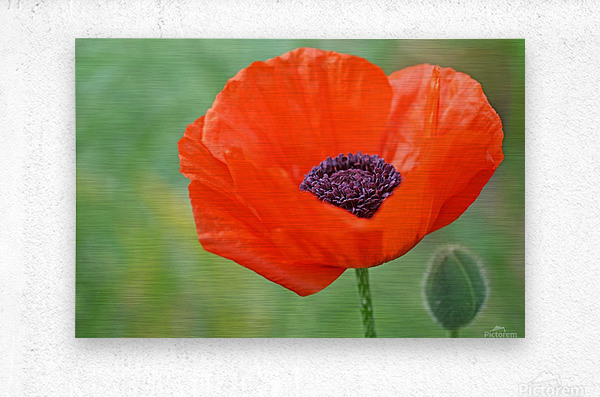 Poppy Red  Metal print