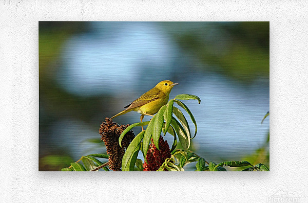 Yellow Warbler In Sumac  Metal print