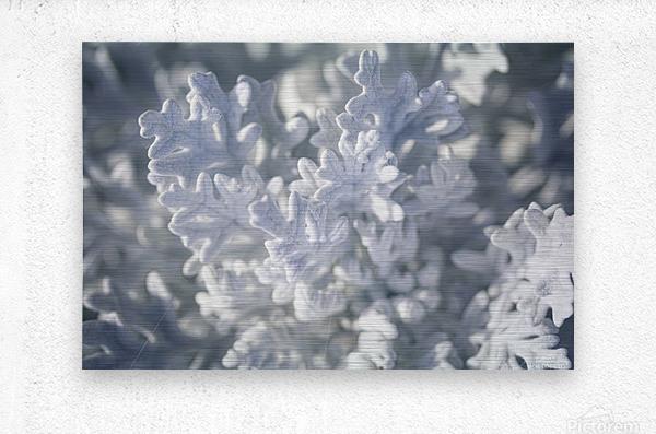 Seaside Cineraria  Metal print