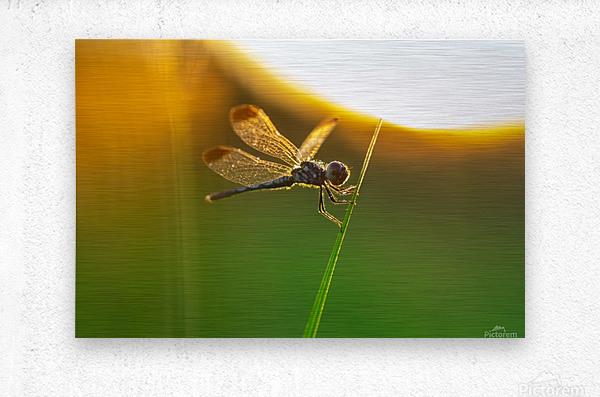 Dragonfly perching on grass twig  Metal print