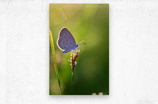 Gray butterfly perching on grass flower  Metal print