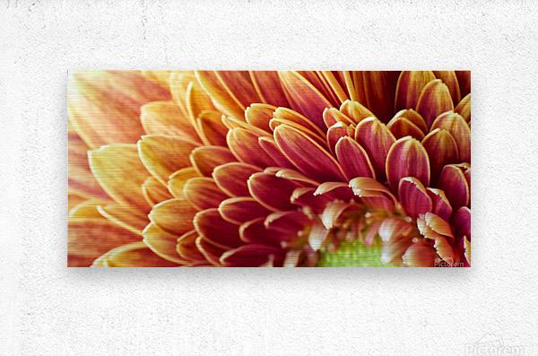 Golden Chrysanthemum  Metal print
