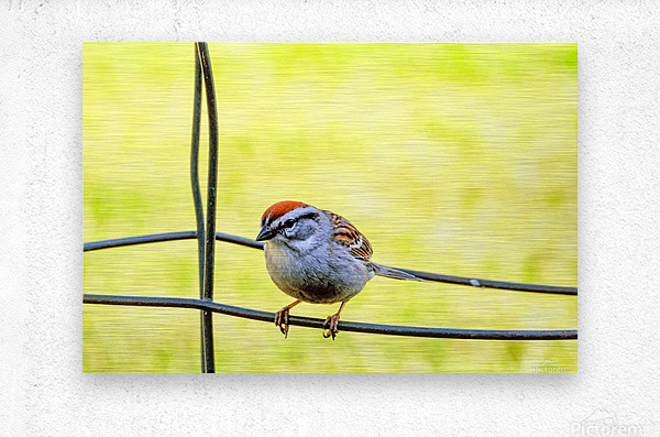 Sparrow on Wire  Metal print
