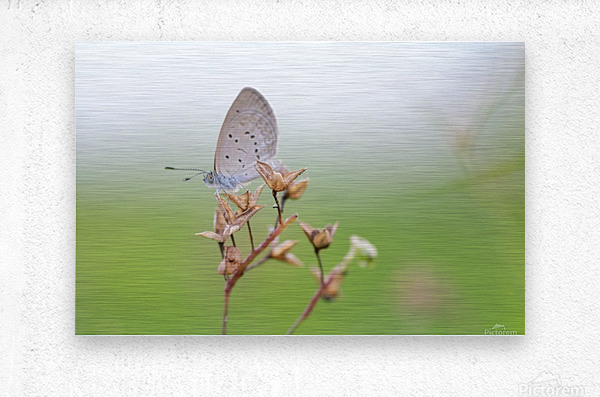 Gray butterfly perching on dried grass  Metal print