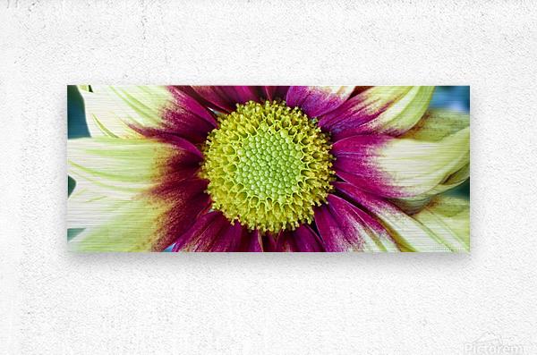 Chrysanthemum Daisy  Metal print