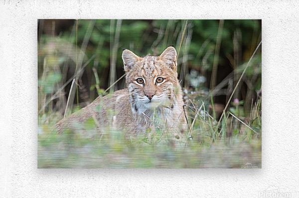 Curious Bobcat  Metal print