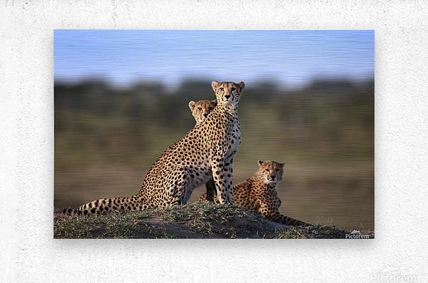 Cheetahs Family  Metal print
