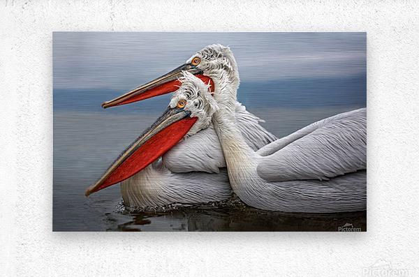 Dalmatian Pelicans  Metal print