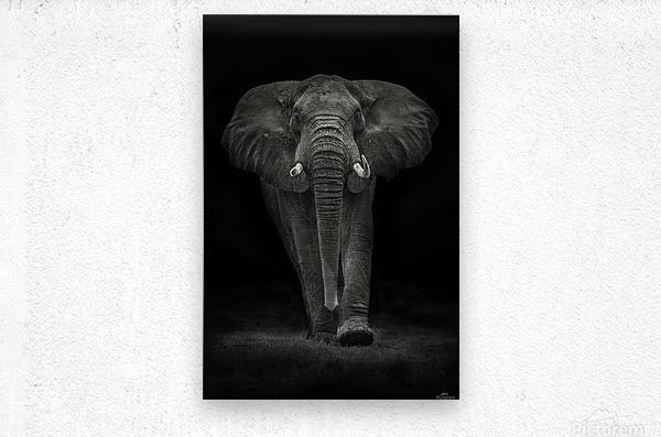 Ngorongoro Bull  Metal print