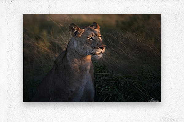 Lioness at firt day ligth  Metal print
