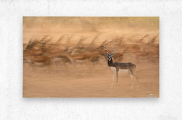 Black Bucks  Metal print
