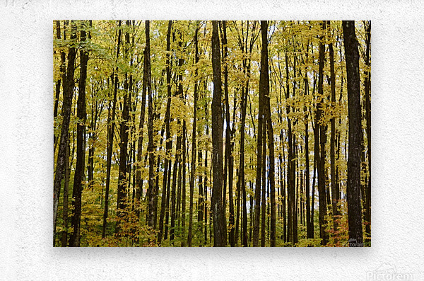 Smith Road Trees  Metal print