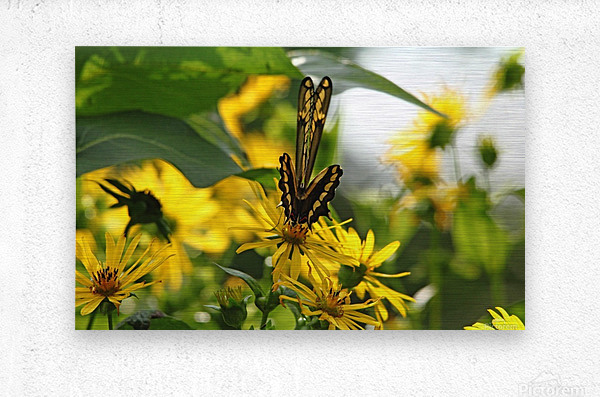 Giant Swallowtail Wings Folded  Metal print