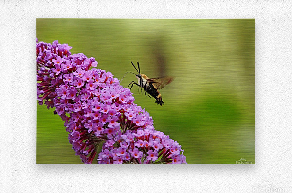 Hummingbird Moth Sipping Nectar  Impression metal