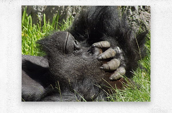 Gorilla Headache  Metal print