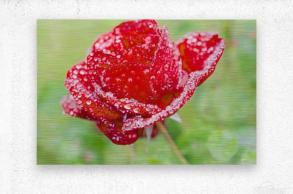 Raindrops and Roses  Metal print