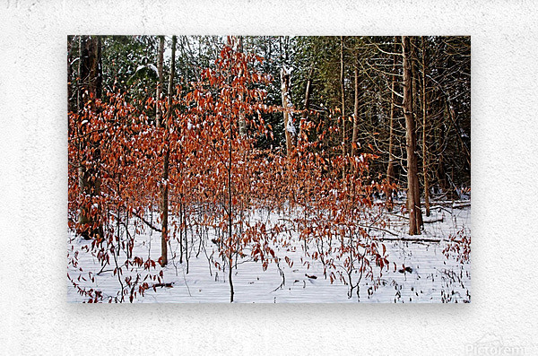 Fall Beech Trees  Metal print