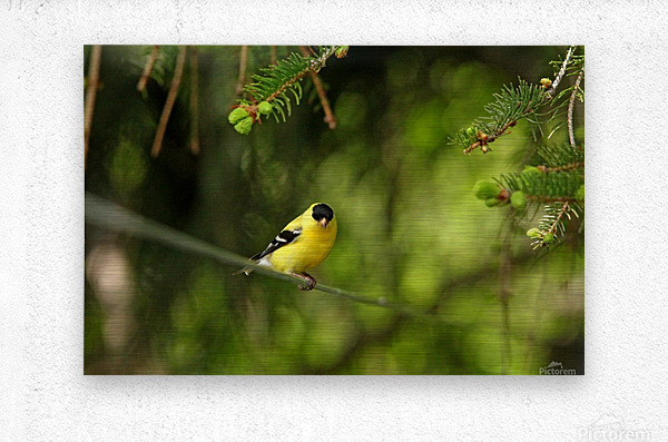 Goldfinch On The Disappearing Line  Metal print
