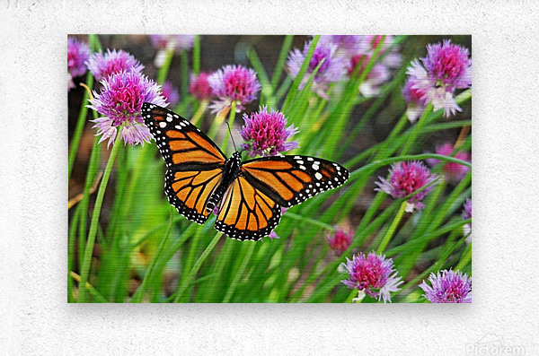 Monarch And Chives  Metal print