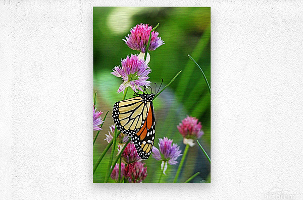 Monarch Butterfly On Chive Blooms  Metal print