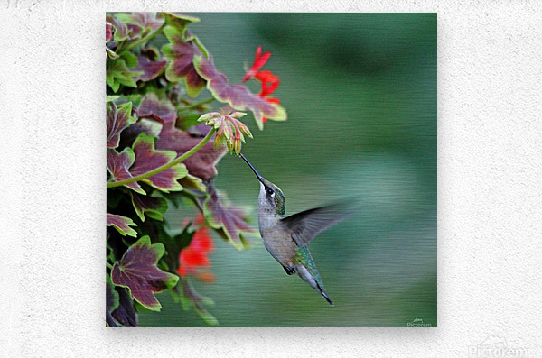 Hummingbird Loving The Orange Geranium  Metal print