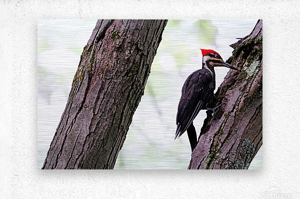 Pileated Woodpecker Checking The Cracks  Metal print