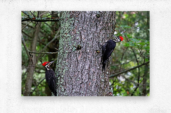 Male And Female Pileated Woodpeckers  Metal print