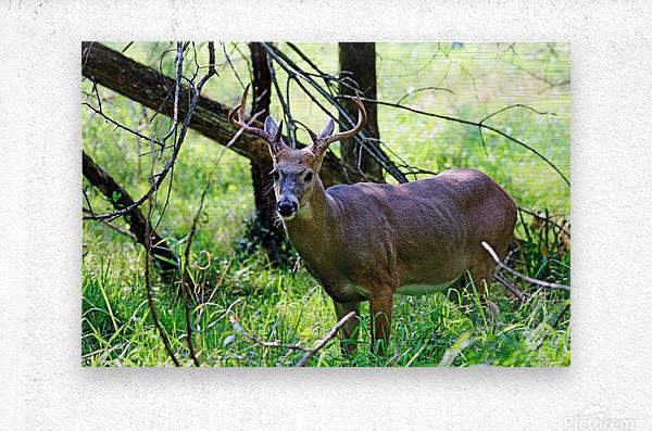 A Buck In The Grass  Metal print