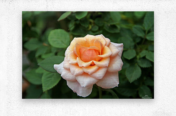 Pretty as a Rose II  Metal print