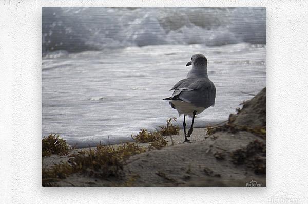 Seagull running  Metal print
