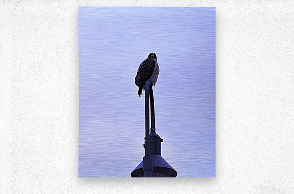 12.5.18 Hawk  Metal print