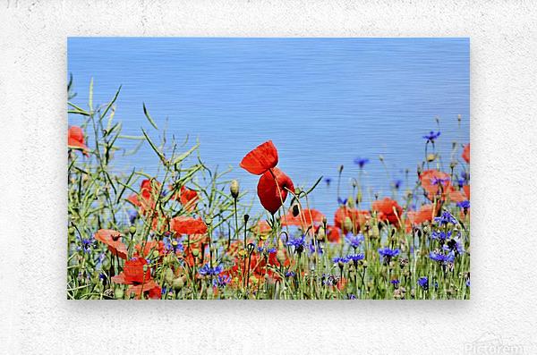 poppy, alpine cornflower, centaurea montana, flower, flower meadow, blossom, bloom, flora, plant, wild flower, garden, meadow, nature, field, petals, leaves, stems,  Metal print