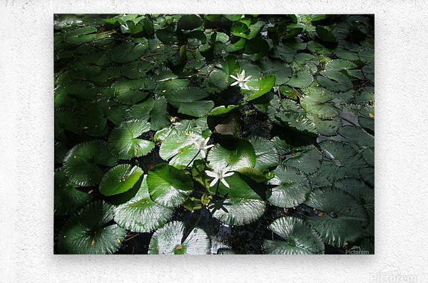 Lotus in the Sunlight  Metal print
