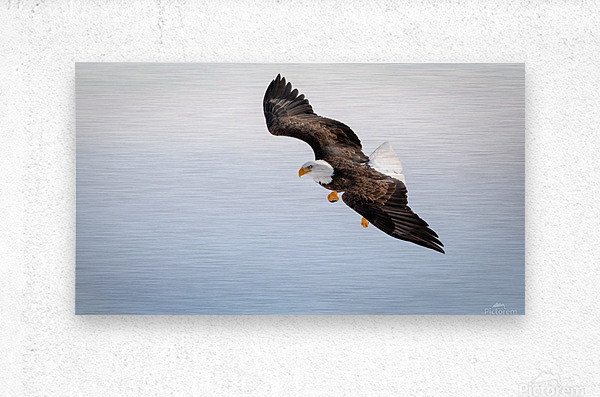 Mature Bald Eagle aiming for prey.  Metal print