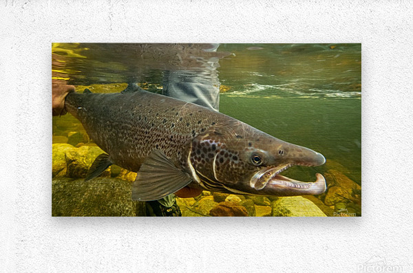 Atlantic salmon Male.   Metal print