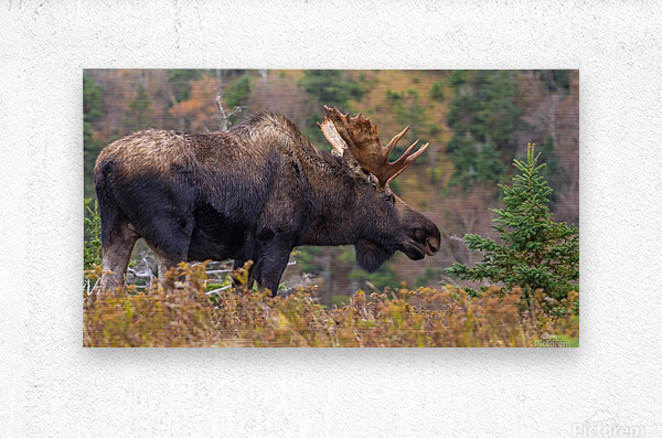 Bull moose on top of Blueberry mountain Cape Breton highlands  Metal print