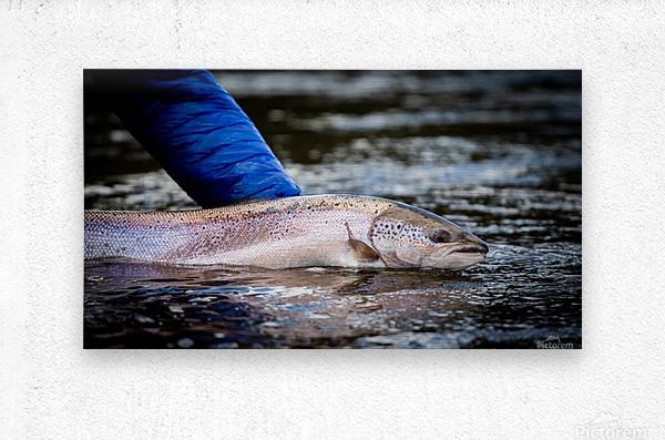 Salmon release  Metal print