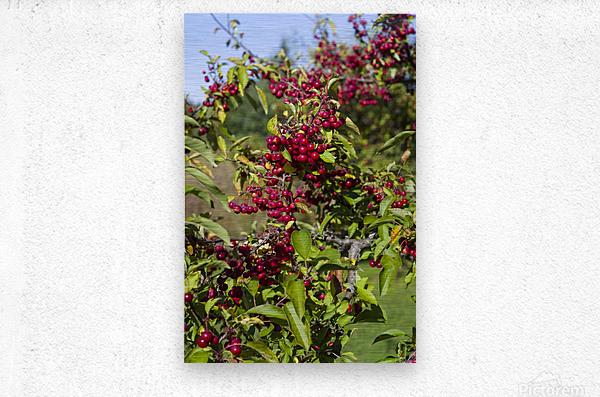 Sumac Bush in Autumn 2  Metal print