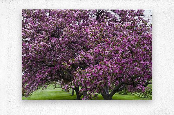 Blooming Crab Apple Trees  Metal print