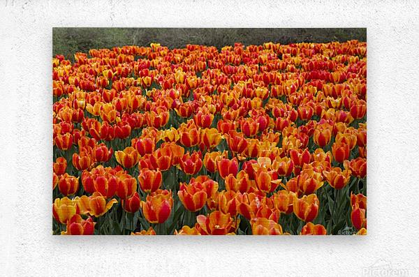 Ottawa Tulip Festival 9  Metal print
