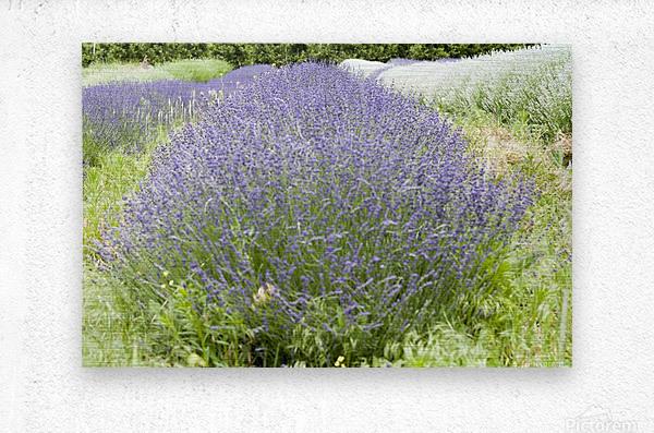 Lavender plants 1  Metal print