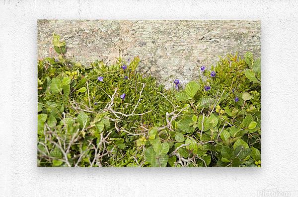 Cape Spears Flowers and vegetation   Metal print