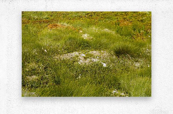 Cape Spears Flowers and vegetation 1  Metal print