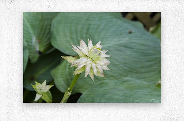 Hosta Bloom 1  Metal print