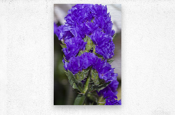 Purple Statice Flower  Metal print