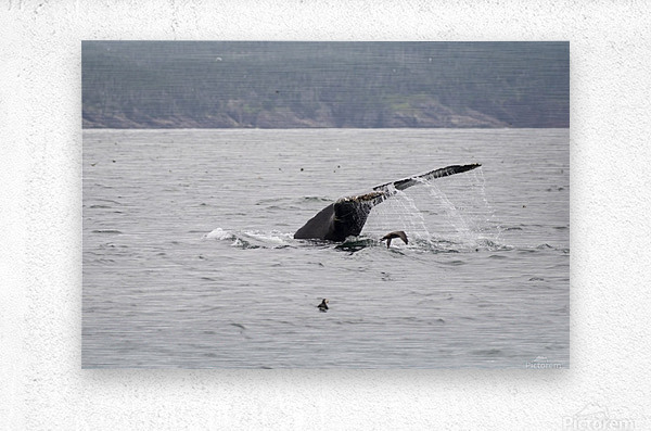 Humback whale a puffin and a murre 4  Metal print